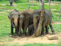 Elephant family in Sri Lanka. A family of proud elephants gathered around their young elephant calf Stock Images