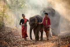 Elephant family in Surin walking in forest at Chang. Village and elephants Surin, Thailand Royalty Free Stock Photos
