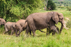 Elephant family in Tarangire Park, Tanzania Royalty Free Stock Image