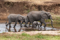 Elephant family in Tarangire River Royalty Free Stock Photos