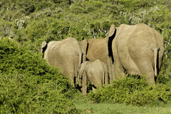 Elephant family in thick bush Stock Image