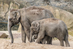 Elephant family of three grey trunk and thick skin Stock Photo
