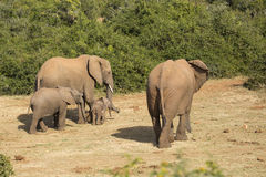 Elephant family with tiny baby Royalty Free Stock Image