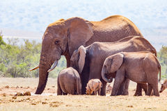 Elephant family together to drink water Royalty Free Stock Photos