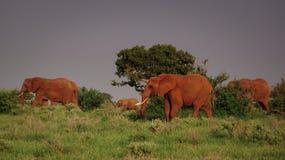 Elephant Family in Tsavo East stock photo
