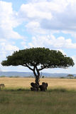 Elephant family under umbrella acacia. In the serengeti plains Tanzania Royalty Free Stock Photography