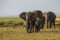 An elephant family is walking in Amboseli plain. Stock Photography