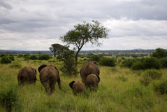 Elephant family walking away. Vife elephants (3 adult, one older cub and 1 baby) walk away into the green landscape. A tree is visible in the middle Stock Image