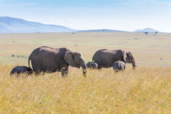 Elephant family walking in the savanna Royalty Free Stock Photos