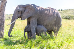 Elephant family walking in the savanna Stock Photos