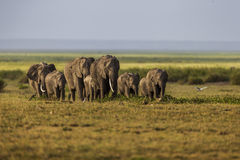 An elephant family is walking in a single line. Stock Image