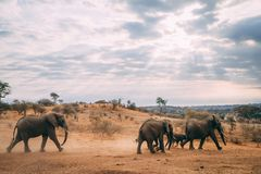 Elephant family walking into sunset. Elephants in the plains of africa playing together in safari stock photos
