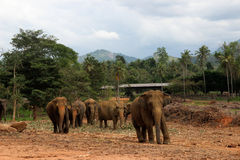 Elephant family walking in their natural habitat Royalty Free Stock Photo
