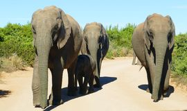 Elephant family walking towards the car stock image