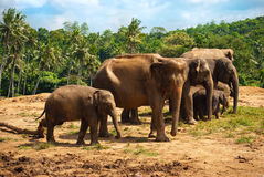 Elephant family walking towards a water Royalty Free Stock Photos