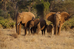 Elephant family in warm late-afternoon light Stock Photos