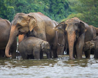 Elephant family in water Royalty Free Stock Image
