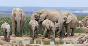 Elephant family at water hole. Elephant family standing at water hole mothers and babies. Addo National Elephant Park royalty free stock photo