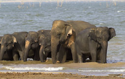 Elephant family in the water in Udawalawe Royalty Free Stock Images