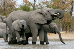 Elephant family waterhole. A mother elephant and two of her young enjoy a drink in Botswana, Africa Stock Photography