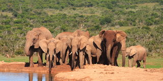 Elephant Family at Waterhole. In the Addo Elephant National Park, South Africa stock image