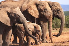 Elephant Family at Waterhole. In the Addo Elephant National Park, South Africa Royalty Free Stock Photo