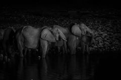 Elephant family at waterhole at night. Elephant family dark monochrome image at waterhole in dark of night in Namibia stock image