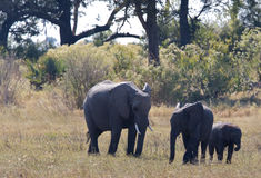 Elephant family in the wild Stock Images