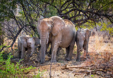 Elephant family Stock Image