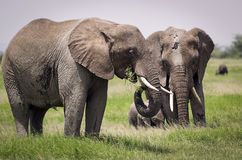 Elephant family with young on grazing. In Amboseli Park royalty free stock photos