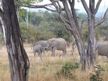 Elephant family Zambia safari Africa nature wildlife. Elephant family in South Lwanga national park in Zambia, Africa, natural habitat, babyelephant royalty free stock photography