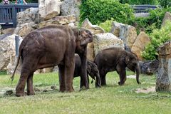 Elephant family in the zoo. In its enclosure with stones and green grass Stock Photo