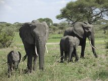 Elephant familyin Africa Royalty Free Stock Images