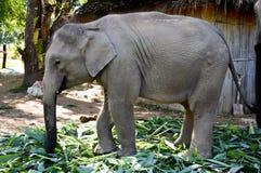 Elephant at the elephant farm. National park in sunshine day royalty free stock photography