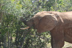 Elephant feasting on bushes. In south african game reserve Stock Images