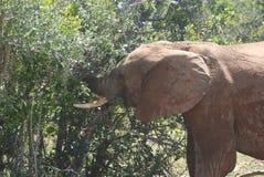Elephant feasting on bushes Stock Images