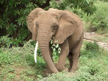 Elephant at feed Stock Images