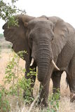 An elephant feeding Royalty Free Stock Photo