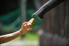 Elephant Feeding. Picture Showing a hand hold a fruit to feed an elephant stock photo