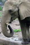 Elephant Feeding. Itself with trunk Stock Images
