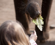 Elephant feeding Royalty Free Stock Photography