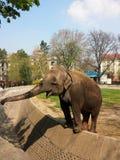 Elephant feeding in an enclosed area Stock Photo