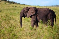 Elephant. Feeding elephant photographed during safari Royalty Free Stock Image
