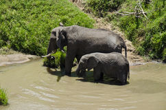 Elephant feeding at riverbank Royalty Free Stock Images