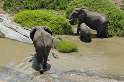 Elephant feeding at riverbank Stock Photography