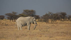 Elephant feeding in the savannah Royalty Free Stock Photography