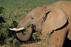 Elephant feeding, South Africa Royalty Free Stock Photo