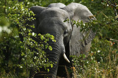 Elephant Feeding time. Breeding herd of elephants coming out of the bush veld to drink Stock Photography