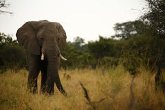 Elephant Feeding time. Breeding herd of elephants coming out of the bush veld to drink Royalty Free Stock Photos