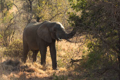 Elephant feeding from a tree Stock Images